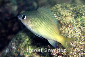 Brighteye Damselfish Plectroglyphidodon imparipennis