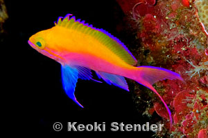 Bicolor Anthias Pseudanthias bicolor