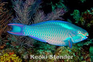 Queen Parrotfish Scarus vetula