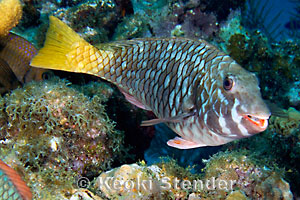 Yellowtail Parrotfish Sparisoma rubripinne