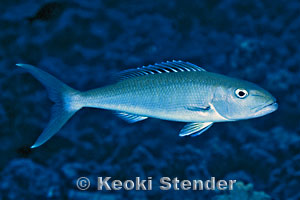 Green Jobfish Gray Snapper Uku Aprion virescens