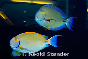 Whitespine Surgeonfish Acanthurus dussumieri