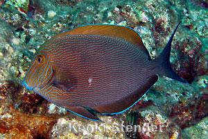 Bluelined Surgeonfish Acanthurus nigroris
