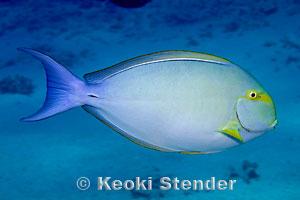 Yellowfin Surgeonfish Acanthurus xanthopterus