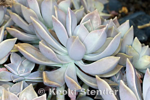 Mexican Ghost or Motherofpearl Plant Graptopetalum