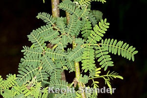 Algaroba Kiawe Prosopis pallida