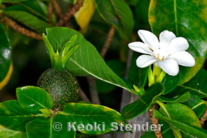 Hawaiian Gardenia Nanu Gardenia brighamii