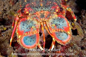 Regal Slipper Lobster, Arctides regalis