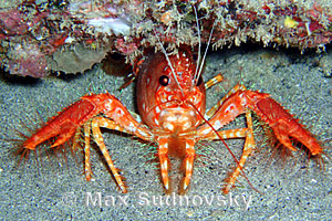Red Reef Lobster Enoplometopus occidentalis
