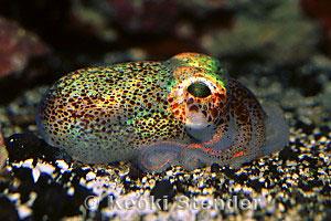 Hawaiian Bobtail Squid Euprymna scolopes