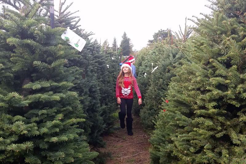 UCut Christmas Tree Farms in Sebastopol  Marin Mommies