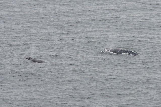 Winter Whale and Elephant Seal Watching at Point Reyes