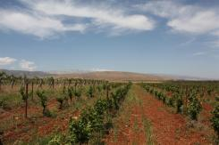 photo of some Bekaa Valley Vineyards