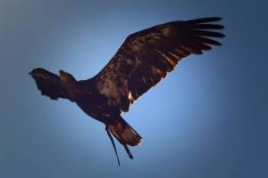 photo d'un aigle en vol au grand parc du puy du fou