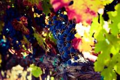 photo of some grapes in napa in fall