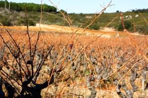 photo d'une vigne en hiver