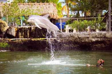 Dolphin jumping in Key Largo