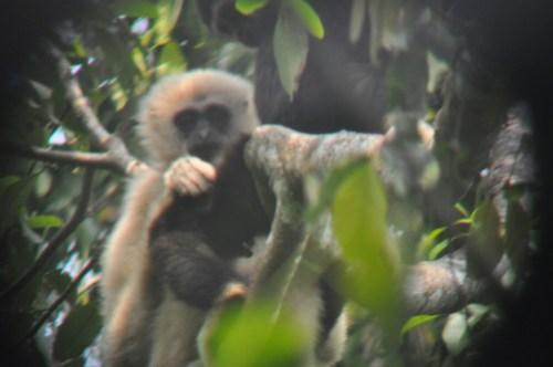 Khao Yai gibbon