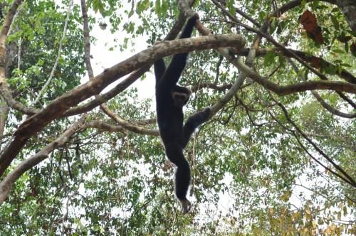 Angkor gibbon 1