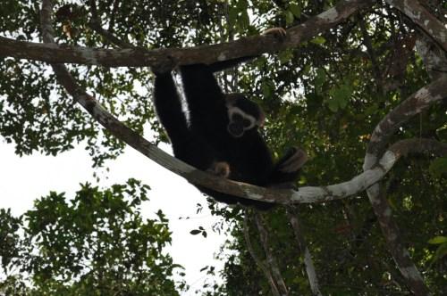 Angkor gibbon 2