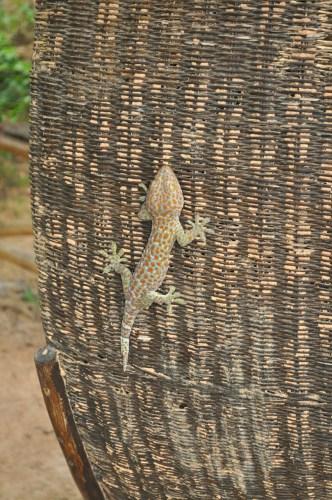 Kep gecko