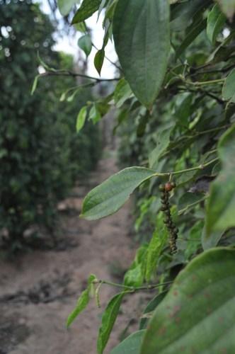 Kep plantation de poivre