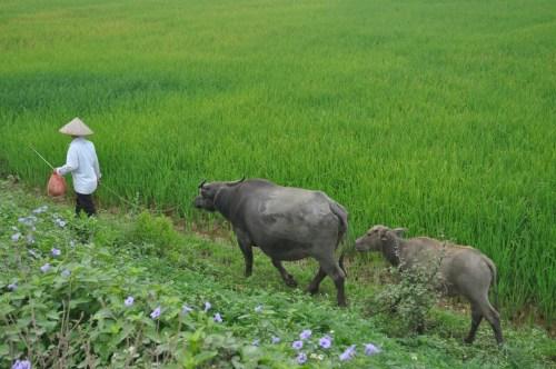 rizières Tam Coc 4