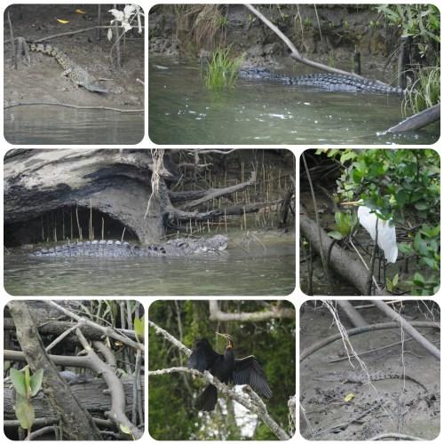 Crocodiles 0729