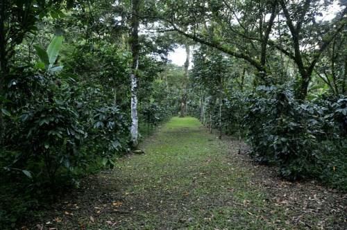 Lac de Yojoa - plantation cafe 1