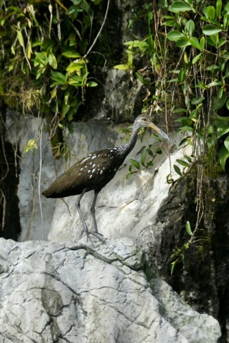 Oiseau Lac de Yojoa 2