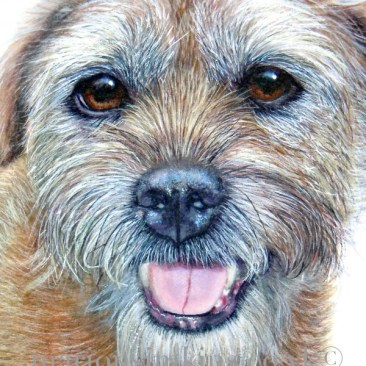 'Archie' the Border Terrier is a close-up view of Archie's face taken from a larger watercolour 'Archie & lily'