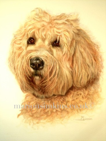'Bailey' Wheaton Terrier is a head & shoulder pose. Baily has golden very curly fur and big brown eyes