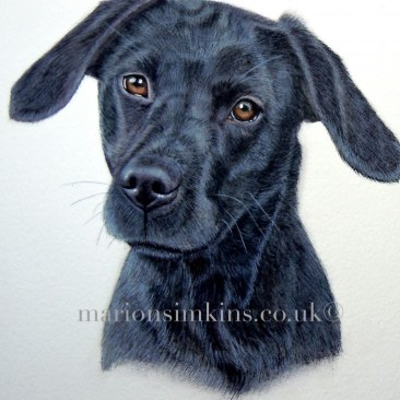 'Beanie' Black Labrador puppy is a head & shoulder close-up view taken from a larger portrait of 'Inca, Beanie & Lily' . Beanie is the daughter of Inca.