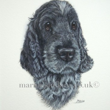 Commissioned head & shoulder portrait of Harvey the Cocker Spaniel who is black & white in colouring. He has a distinctive white mallen streak on the top of his head and is gazing at the viewer with big brown eyes