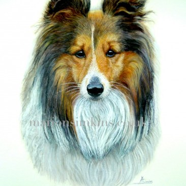 'Henry' the Sheltie is a head & shoulder watercolour pet portrait. Henry is a quiet, gentle character. He is looking directly at the viewer with his ears pricked and the wind ruffling his fur.