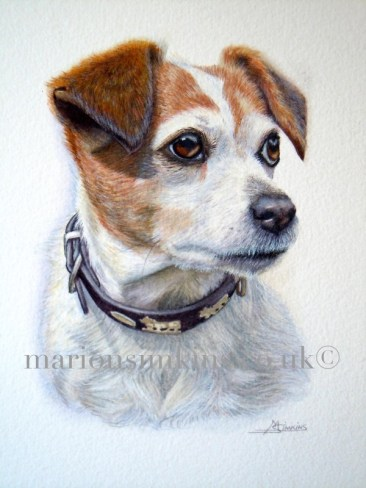 'Hetty' the Jack Russell is a head & shoulder watercolour of Hetty