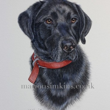 Pet portrait head & shoulder watercolour painting of Black Labrador 'Jasper' looking to the right of the viewer with brown eyes and a red collar