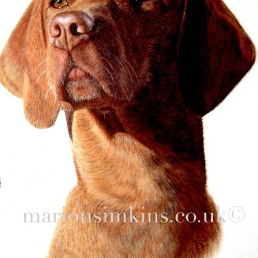 'Lily' the Hungarian Vizsla is taken from a larger triptych painting with two black labs. Lily is depicted showing her head and shoulder. The sun is shining on her casting a shadow on the right side of her face causing beautiful reflections in her amber eyes. Lily is ginger/red in colouring and looks very regal.