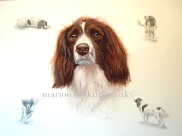 'Lucy' the English Springer Spaniel is a Montage. Lucy is painted in watercolour with small pencil drawings of her are depicted in each of the corners.
