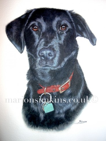 'Millie' the Black Labrador head & shoulder commissioned pet portrait painting. Millie is looking directly at viewer with brown eyes wearing a red collar and green dog tag