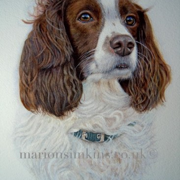 Nancy the English Springer Spaniel a head & shoulder bespoke commissioned watercolour pet portrait. Nancy is looking to the right of the viewer wearing a green collar just visible through her white ruff. The wind is blowing the hair on her ears.