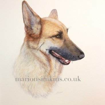 Pet portrait head & shoulder watercolour painting of 'Sammy' the German Shepherd side view looking to the right with mouth slightly open