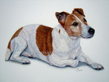 'Scooby' the Jack Russell bespoke full body watercolour pet portrait of Scooby laying down with one paw tucked beneath him