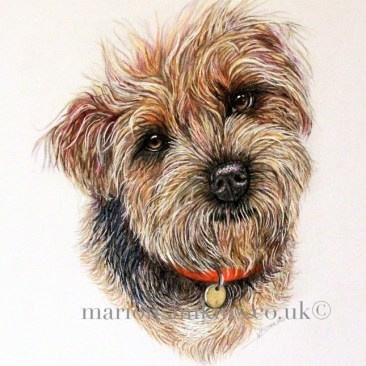 'Stanley' the Border Terrier is an original head & shoulder drawing in coloured pencil. He is wearing a red collar and tag looking lovingly directly at the viewer