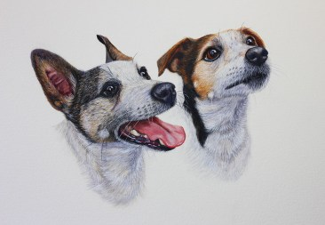 'Teddy & Bounce' Double Jack Russell head & shoulder watercolour pet portrait. Both dogs are gazing at their owner attentively