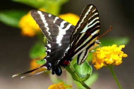 Mariposa Cebra MARIPOSAPEDIA
