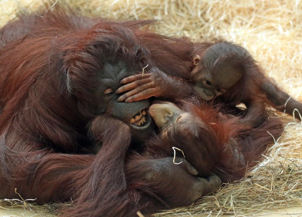 joke_kok_familiar_orangutan