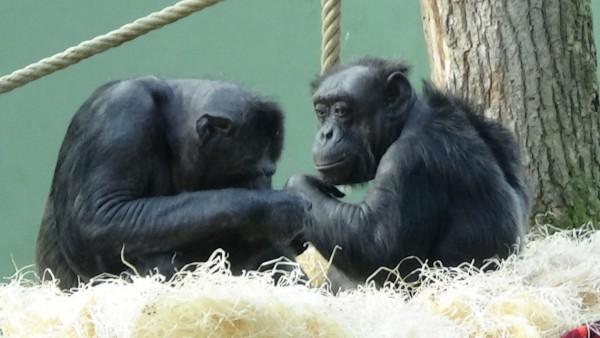 chimps-nordhorn-tonko