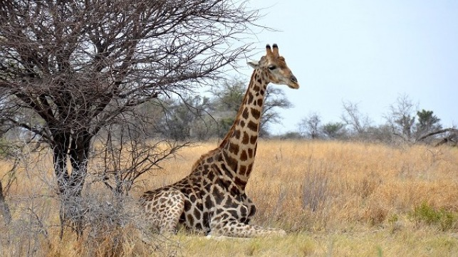 cites protects giraffe for