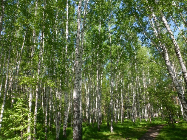 Birch forest surrounding a WWII monument